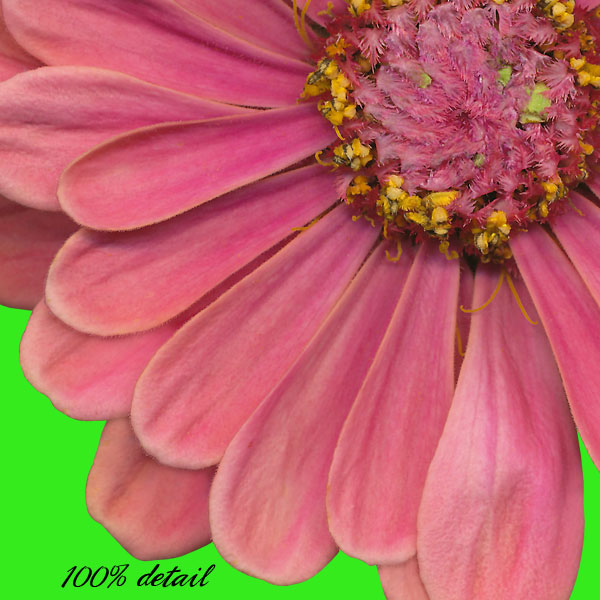 Zinnias Set - Click Image to Close